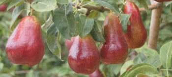 Cape Fire pear