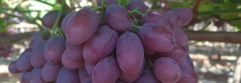 Luca red seedless grape